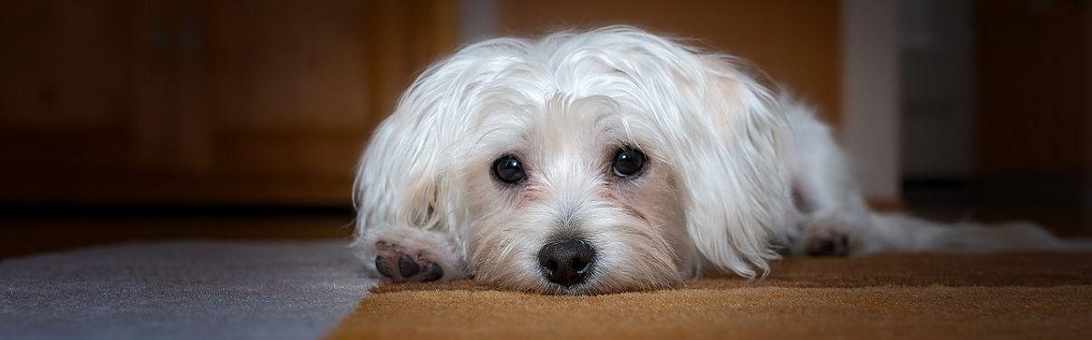 Foto van een liggende hond.